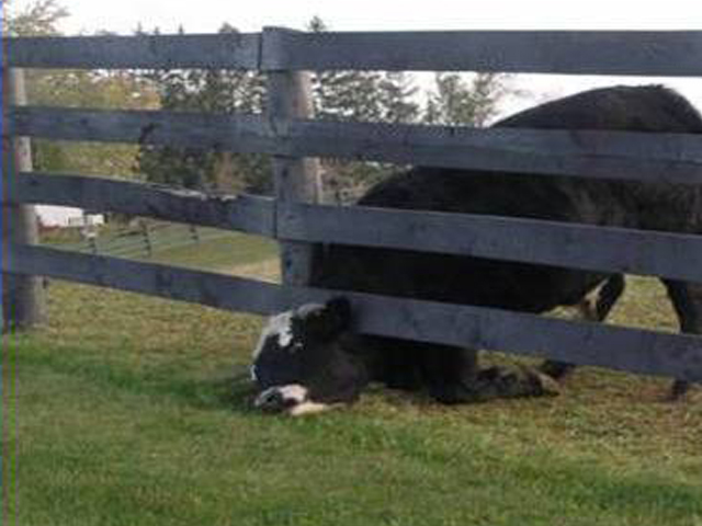 Cow stuck under a fence